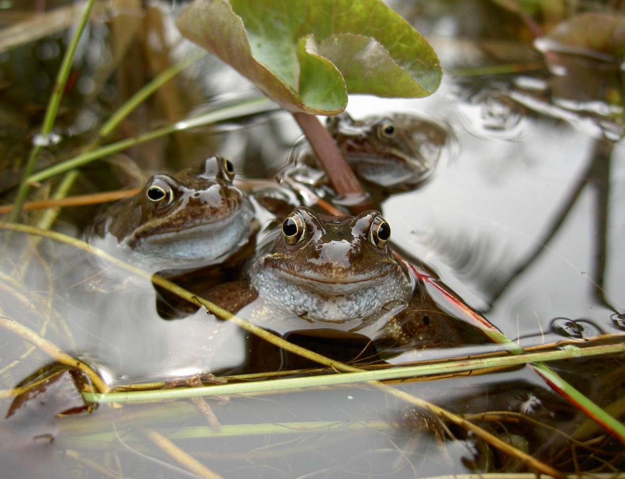 Heligan toads